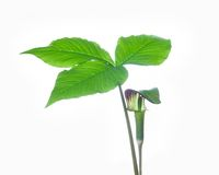 Jack-in-the-pulpit Stock Images