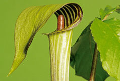 Jack in the Pulpit Royalty Free Stock Image