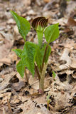 Jack in the pulpit sprouts open Royalty Free Stock Photos