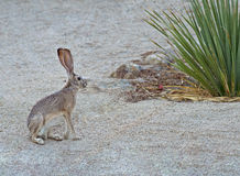 Jack Rabbit Fotografia Stock Libera da Diritti