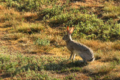 Jack Rabbit Royaltyfri Foto
