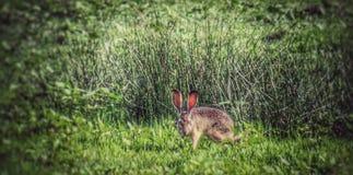 Jack Rabbit Royalty-vrije Stock Foto