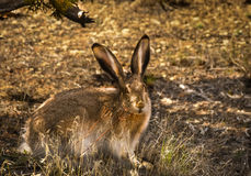 Jack Rabbit Photographie stock