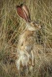 Jack Rabbit ad attenzione Fotografie Stock