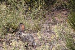 Jack Rabbit Royalty Free Stock Images