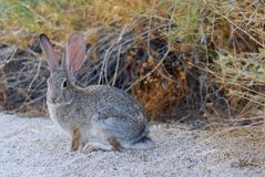Jack rabbit in joshua tree Royalty Free Stock Images