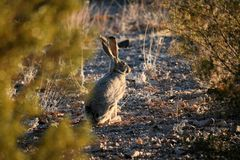 Jack Rabbit in the Desert Royalty Free Stock Photos
