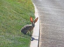 Jack Rabbit selvagem no ambiente suburbano Imagem de Stock