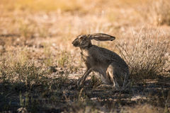 Jack rabbit thinks he is under cover. Royalty Free Stock Photos