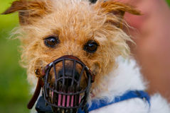 Jack Racer. A rough coat Jack Russel with his racing muzzle on Royalty Free Stock Image