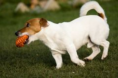 Jack rusell terier. Playing small jack russel terrier Royalty Free Stock Image