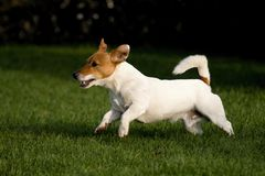 Jack rusell terier. Playing small jack russel terrier Stock Photography