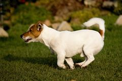 Jack rusell terier. Playing small jack russel terrier Stock Images