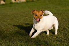 Jack rusell terier. Playing small jack russel terrier Stock Image