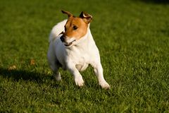Jack rusell terier. Playing small jack russel terrier Stock Photos