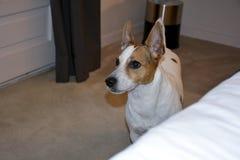 jack russel собаки стоковое изображение