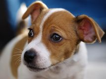 Jack Russel Photographie stock