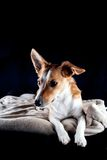 Jack Russel photos stock