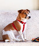 Jack Russel Fotos de Stock Royalty Free
