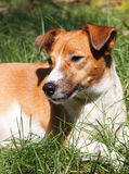 Jack Russel immagine stock