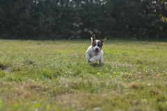 Jack Russel Photo stock
