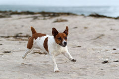 jack Russel Obrazy Royalty Free