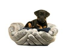 Jack Russel-binnen gehouden het puppy dient wit in royalty-vrije stock fotografie