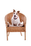 Jack Russel in a chair. Happy Jack Russel dog sitting in a chair on white background royalty free stock photography