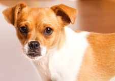 Jack Russel close-up Stock Photography