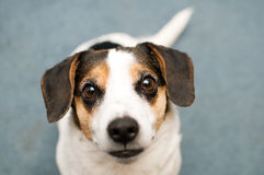 Jack russel dog. Adorable jack russel dog looking into the camera with big pleading eyes stock image