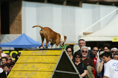 Jack russel and dog agility Stock Photo