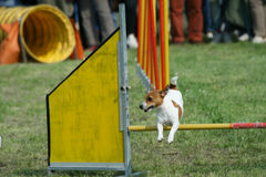 Jack russel and dog agility Royalty Free Stock Photo