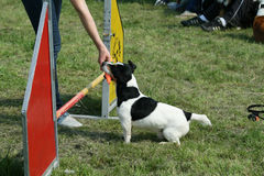 Jack russel and dog agility Royalty Free Stock Photos