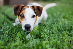 Jack Russel Dog. Cute Jack Russel Dog Laying in the grass royalty free stock images