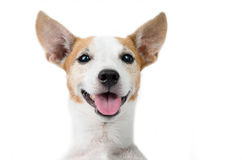 Jack russel dog portrait on white background Stock Image