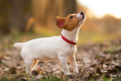 Jack russel dog Royalty Free Stock Photo