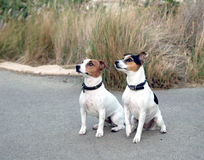 Jack Russel dogs. Two dogs portrait stock photos