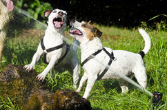 Jack russel dogs. Playing with water Stock Photos