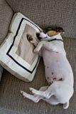Jack Russel dormant sur un oreiller Photo stock