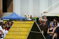 Jack Russel e agilidade do cão Fotografia de Stock
