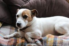 Jack Russel en el sofá Fotografía de archivo libre de regalías