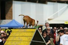 Jack Russel et agilité de chien Photo stock