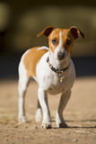 Jack Russel at eye level. A photograph of a young jack russel dog looking straight at the camera Stock Image