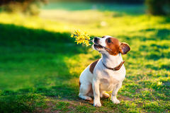 Jack russel on flower meadow With a branch of yellow flowers in the teeth. Congratulations concept Royalty Free Stock Images
