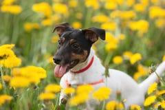 Jack russel on flower meadow Royalty Free Stock Image