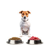 Jack russel with food. Isolated on white background royalty free stock images
