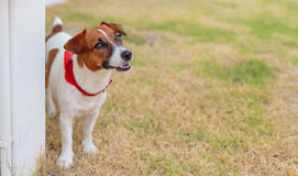Jack russel on a green grass Royalty Free Stock Images