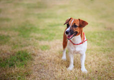 Jack russel on a green grass Stock Photography