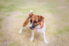 Jack russel on a green grass Royalty Free Stock Image