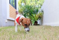 Jack russel on a green spring grass Royalty Free Stock Images